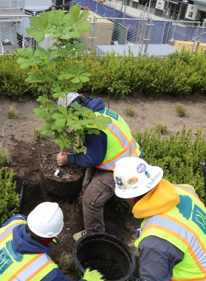 Workers Plant Anne Frank Chestnut Tree
