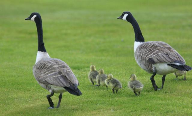 canda+geese