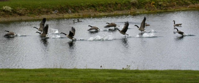 Geese-Takeoff-2-1024x427